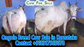 Gir Cow For Sale Olx