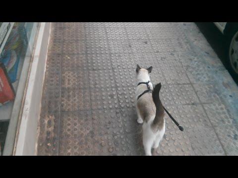 Gato paseando con correa
