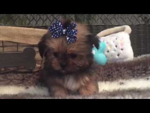 SHORKIE MALE THAT WILL MELT YOUR HEART