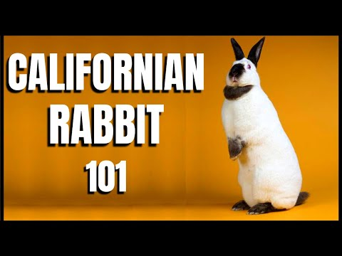 , title : 'Californian Rabbit 101: All You Need To Know