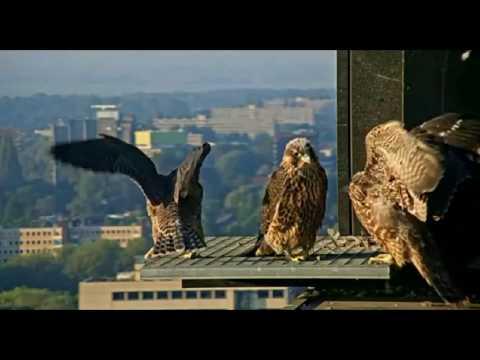 Peregrine Falcon Amsterdam Summary 2017