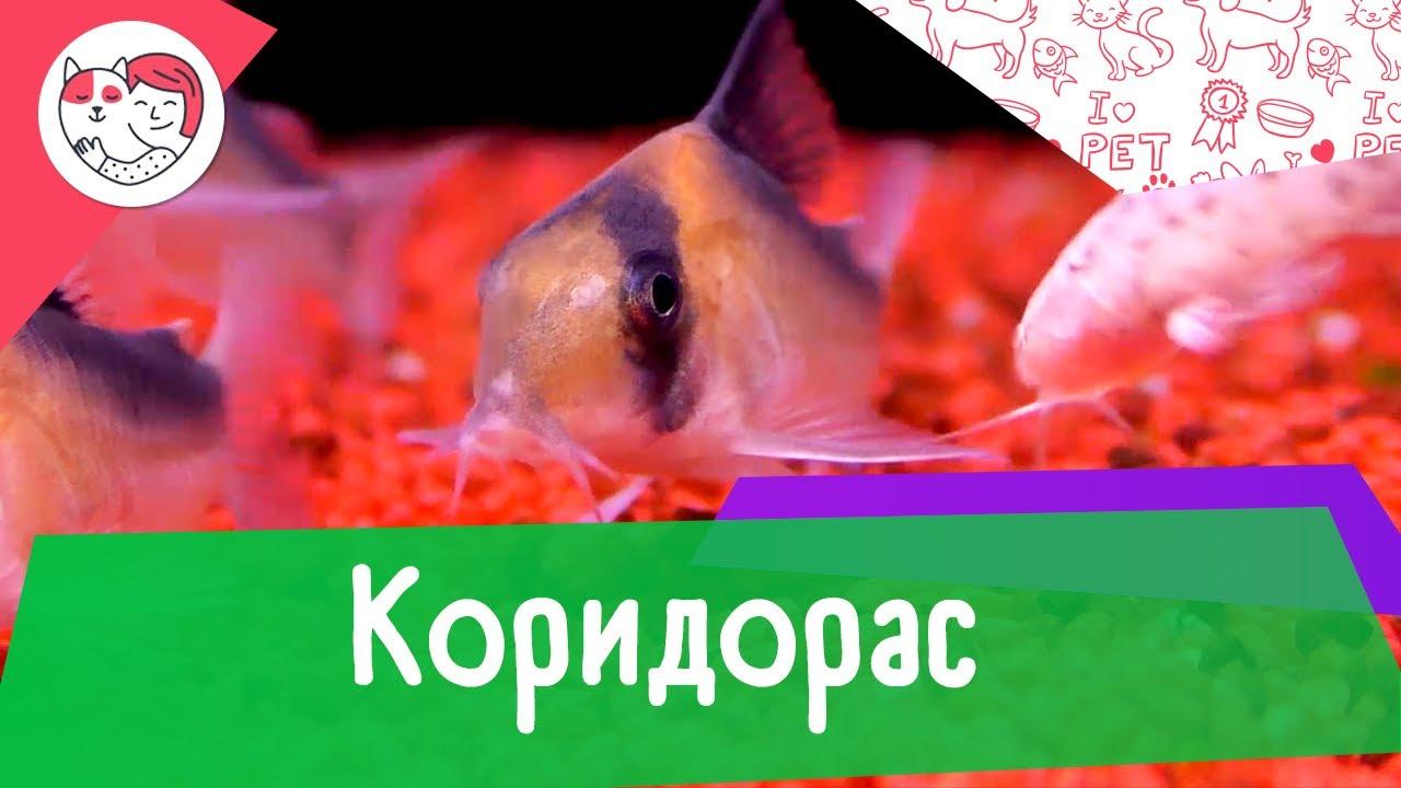 Аквариумная рыбка коридорас. Особенности. Уход.