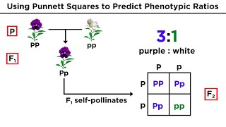 Mendelian Genetics And Punnett Squares