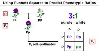 Mendelian Genetics And Punnett Squares