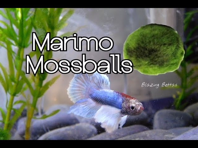 Marimo Moss Ball Care & Benefits | Betta Fish