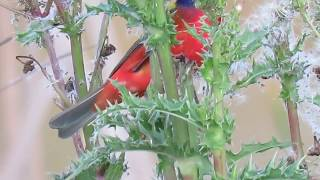 Orange Belly & Royal Blue Head on Painted Bunting Feeding on Thistle! Pinckney Island National Wildl