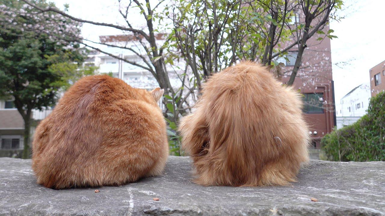 桜を見る会!?2匹の茶トラ猫が肩を並べてお花見をする #猫 #cat #野良猫 #茶トラ #お花見