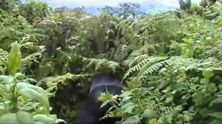 preview picture of video 'Rwanda Gorillas'