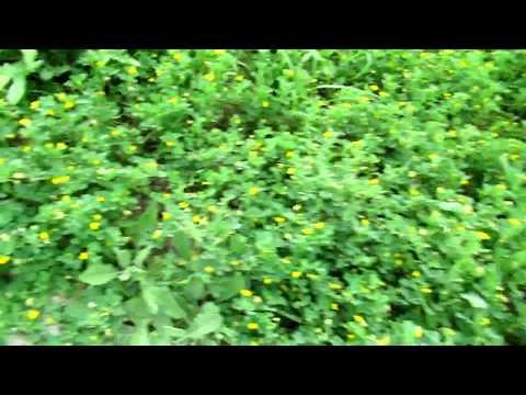 Люцерна(лат. Medicágo)  серповидная (жёлтая). цветёт!Кирьят-Ям.Израиль.Kiryat-Yam. Israel.