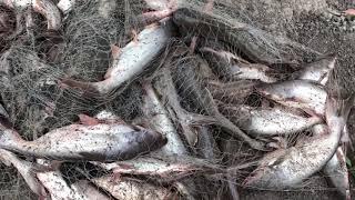 Believe This Cast Net Fishing? - Fisherman vs. River Monsters