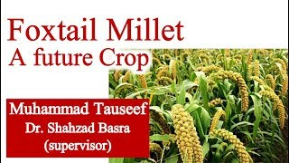 Foxtail Millet a Future Crop of Pakistan