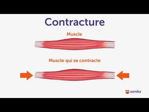 Quels groupes des muscles entraîne les accroupissements