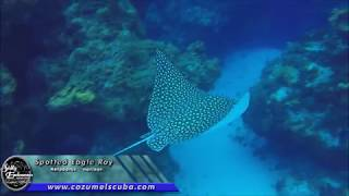 Diving with Spotted Eagle Rays in Cozumel, Mexico