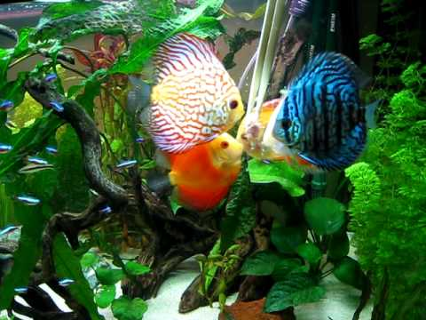 Discus Fish Feeding on Frozen Beefheart
