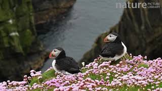 Two Atlantic puffins in breeding plumage on cliff top, Sumburgh Head, Shetland Islands, Scotland, UK