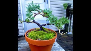 2018 How To Create Juniper Bonsai Tree For Less Than $10