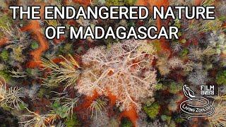Endangered nature of Madagascar, lemurs, chameleons, snakes, endemic fauna, island in poverty