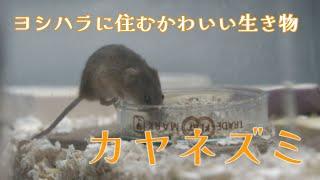 【びわ博の中の人】 ~ヨシ原コーナー~ ヨシトンネル・カヤネズミ
