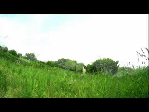 キバネツノトンボ、空中交尾の瞬間