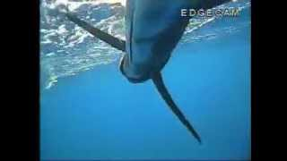 preview picture of video 'Coral Bay Sailfish'