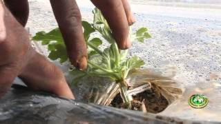 فيلم التنمية الزراعية في الاغوار