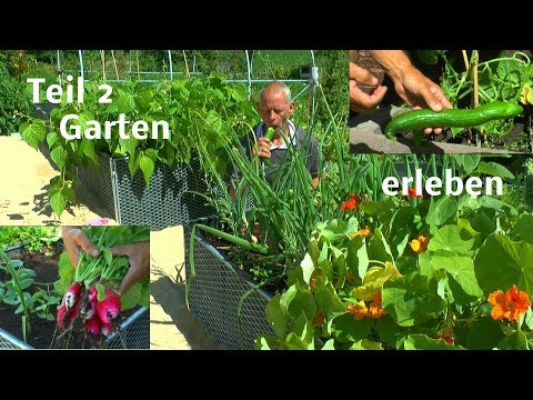 Ein Tag im Garten Teil Zwei Zitronenmelisse Umpflazen Hochbeet neue Aussaat mit Mais und mehr
