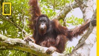 "Watch Orangutans Build Umbrellas, ""Kiss-Squeak,"" and More | National Geographic thumbnail"