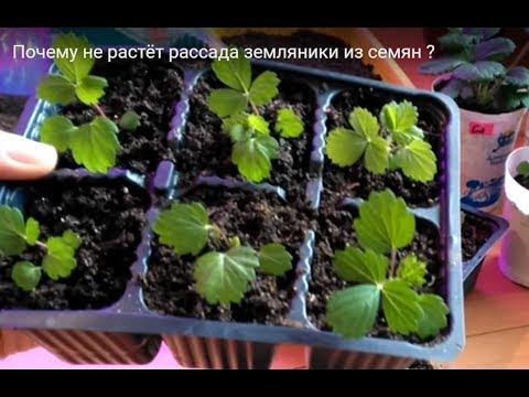 Почему не растёт рассада земляники из семян?