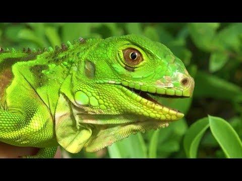 Revierkämpfe und Farbänderung | Der Grüne Leguan | Reptilien und Amphibien Folge 9