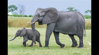 African Elephant Endangered 10 Interesting Facts