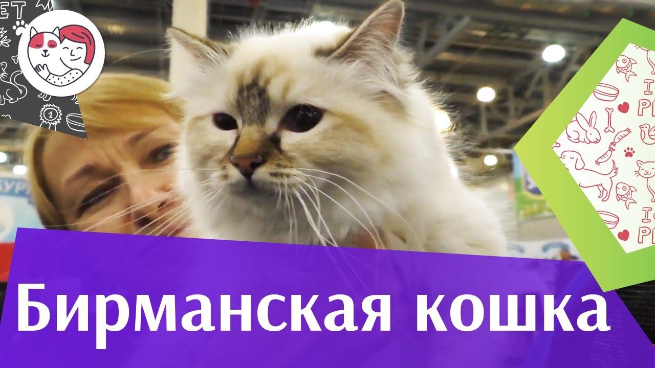 Бирманская кошка. Особенности. Уход