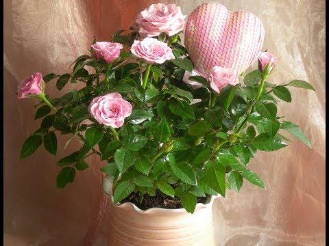 Адаптация КОМНАТНЫХ РОЗ | Что делать, чтобы роза не погибла в первые недели после покупки