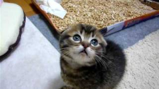 マンチカン 子猫 立っちん