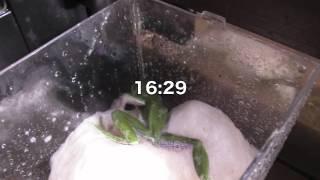 モリアオガエル産卵