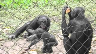 preview picture of video 'Bonobos at Lola Ya Bonobo Sanctuary'