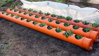 Борная кислота главный секрет супер урожая клубники! Уход во время цветения клубники!