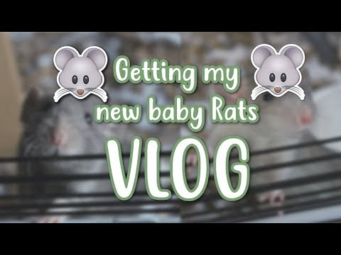 🐭 GETTING MY NEW BABY RATS 🐭 | VLOG