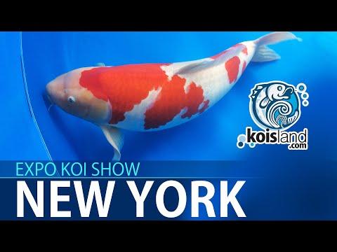 KOI FISH EXPO - Cómo identificar un buen pez koi pequeño - Koisland New York
