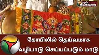 Cow worshiped as god in a temple at Theni