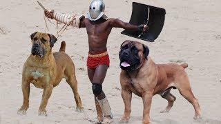 10 Most Powerful Mastiff Dog Breeds