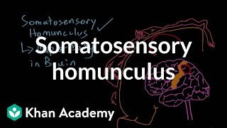 Somatosensory homunculus | Processing the Environment | MCAT | Khan Academy
