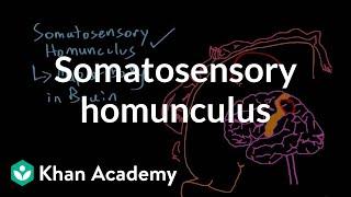 Somatosensory homunculus | Processing the Environment | MCAT | Khan Academy
