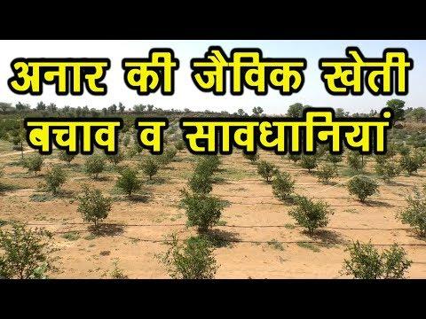 जैविक खेती-अनार..Organic Anar ki jaivik kheti #Organic_Farming #Organic_Anar #DrManoj_Yogachary