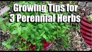 Growing Tips for 3 Perennial Herbs (Oregano, Mint & Sage) and Progress in Messy Garden Bed