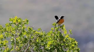 White throated robin song אירניה שר