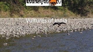 Vultures of India-Nine species Endangered and Threatened