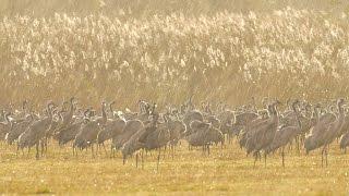 Cranes in the rain עגורים בגשם