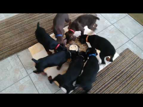 Cute Puppies Spin in Circles While Eating