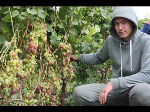 Башкирский виноград