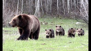 Wildlife Photography-Grizzly 399 & 4 cubs Growing Big-Jackson Hole/Grand Teton Park/Yellowstone Park